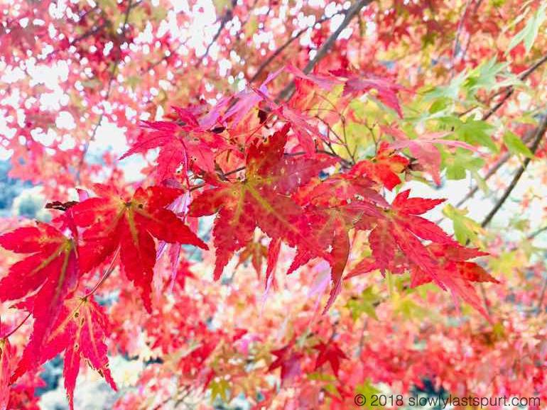 iPhone XS Max 紅葉
